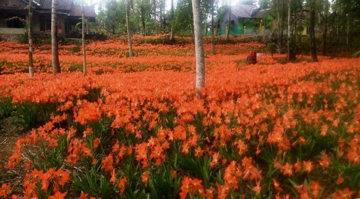 Kebun Bunga Puspa Patuk Sebelum dirusak wisatawan Image Facebook