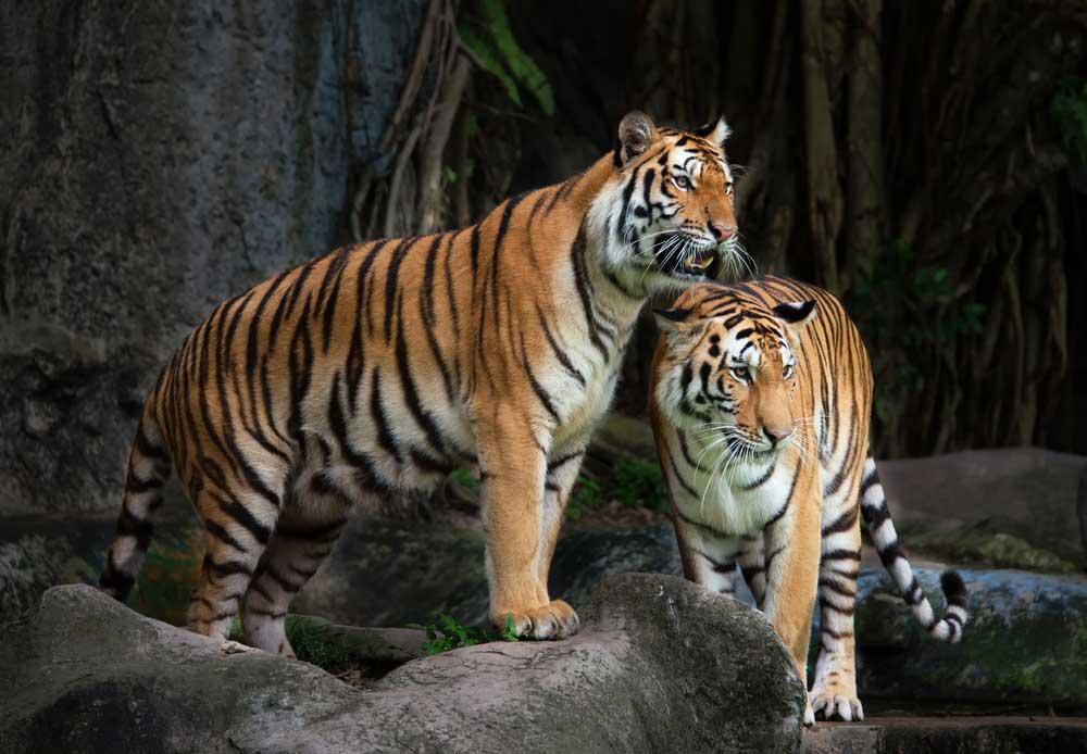 harimau-kebun-bintang