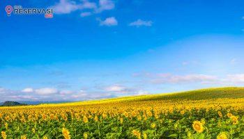 taman-bunga-matahari