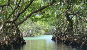 mangrove lahundape