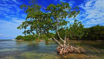 illustrasi-hutan-mangrove-pandansari-brebes