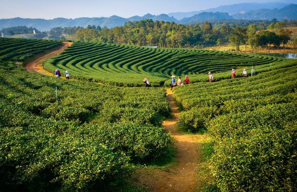 Kebun Teh Malino, Sepetak Surga di Makassar