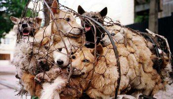 festival yulin makan daging anjing (2)
