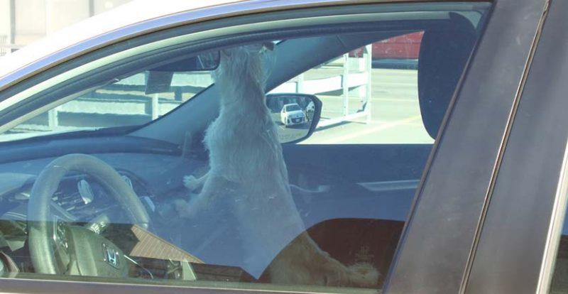 Tinggalkan Hewan Peliharaan di Mobil