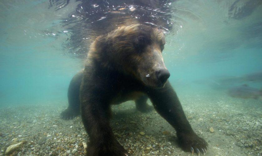 Beruang berburu ikan