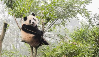 istana panda Indonesia