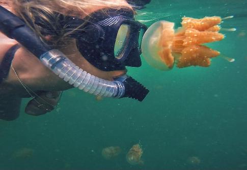 ubur-ubur di pulau kakaban