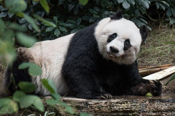 Jia Jia seekor panda yang harus rela disuntik mati pada umurnya yang ke-38 tahun ini - mirror.co.uk