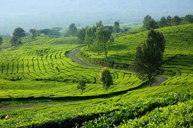 Kebun teh Gunung Dempo, sebuah pesona di Bumi Sriwijaya