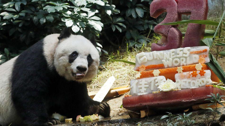 Kisah Haru Panda Raksasa Tertua di Dunia yang Disuntik Mati