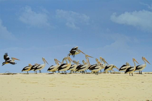 Kumpulan burung Pelikan di Pantai Ngurtafur. sumber image: indonesia.travel