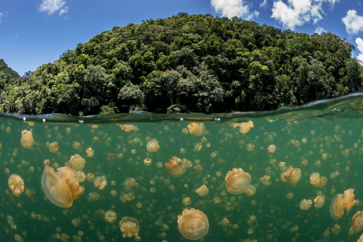 pulau palau ubur-ubur emas
