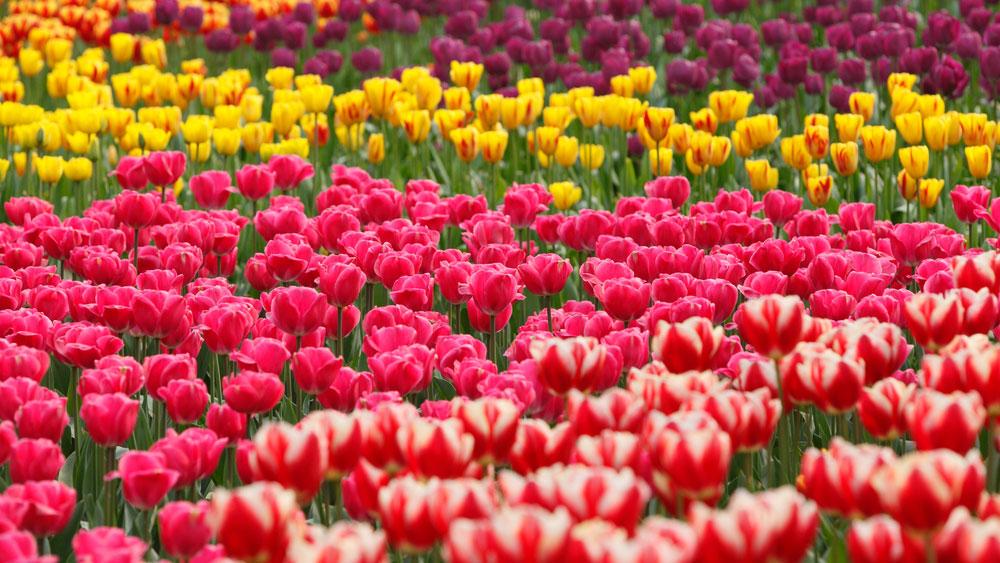 Taman Bunga Tulip