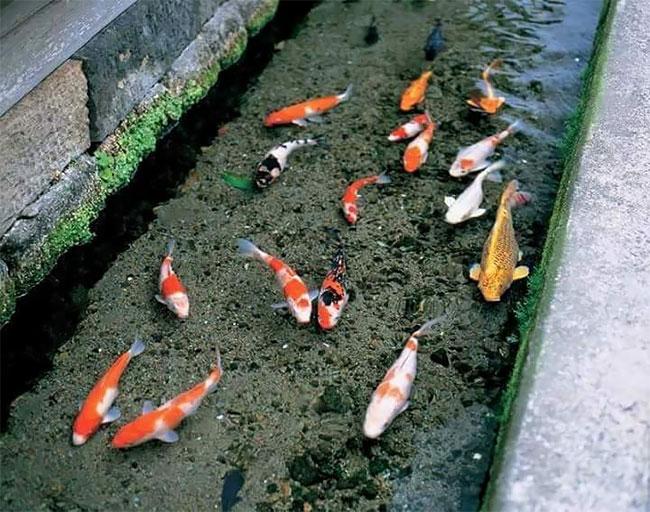 Ikan Ala Jepang: Budidaya Di Klaten