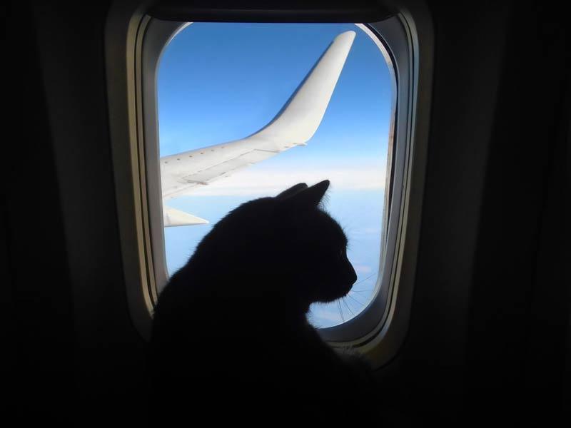 kucing di pesawat