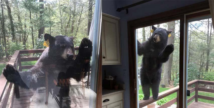 Mencium Borwnies Lezat, Beruang ini Paksa Masuk Rumah Seorang Nenek