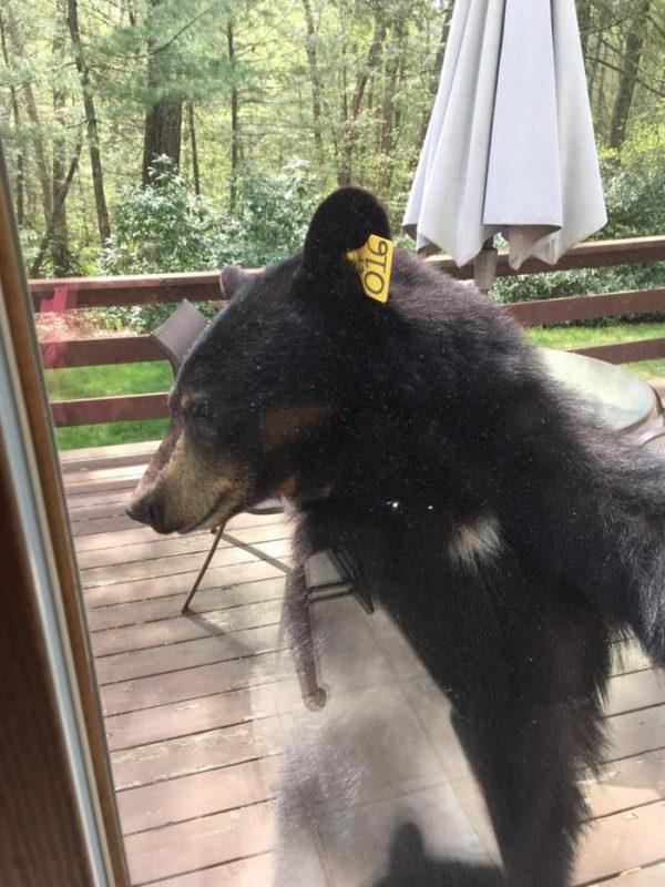 beruang ini paksa masuk rumah