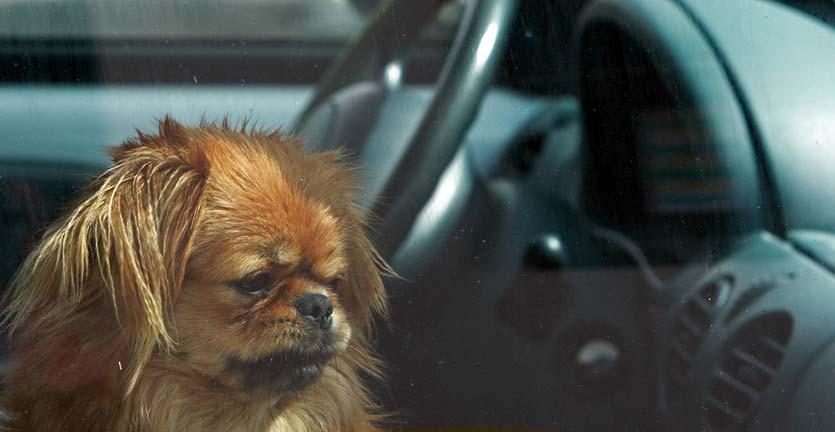 Tinggalkan Hewan Peliharaan di Mobil Saat Siang Hari? Ini yang terjadi…