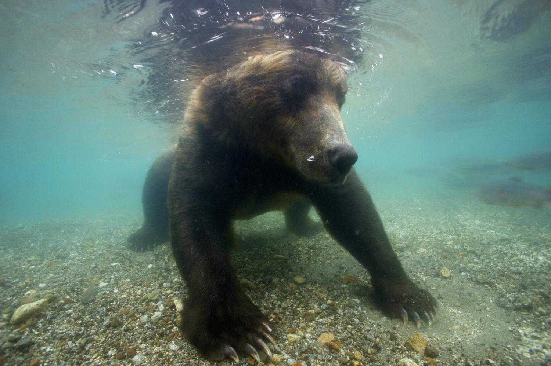 Fotografer Foto Beruang yang sedang Berburu Ikan di Sungai