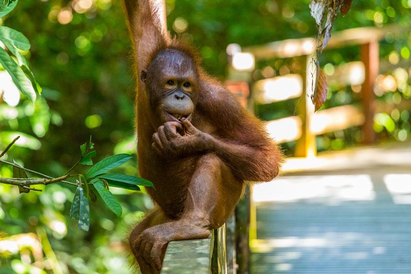 Spesies Baru Orang Utan Ditemukan di Hutan Sumatera