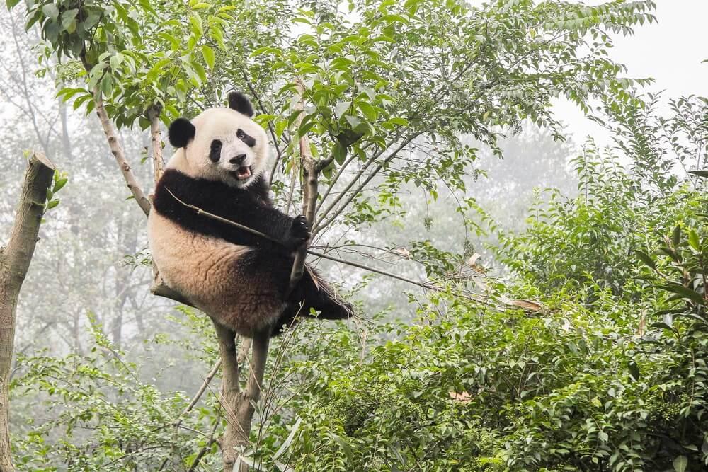 Megahnya Istana Panda Indonesia di Taman Safari Bogor