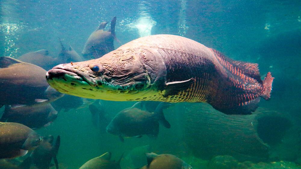 6 Fakta Ikan Arapaima Gigas yang Dikenal Sebagai Predator Ganas