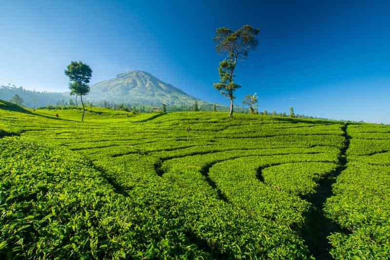 Ingin Wisata Alam Hijau nan Sejuk? Kunjungi 7 Kebun Teh di Jawa Barat