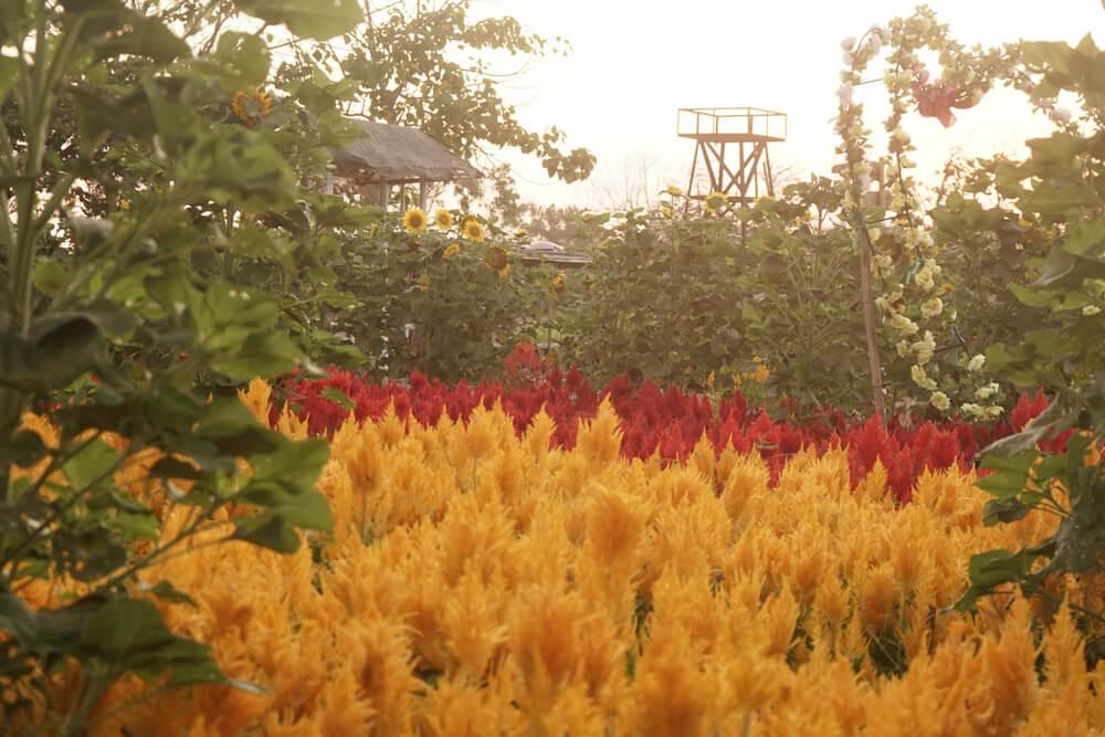 Fakta Kebun Bunga Celosia, Spot Cantik untuk Berfoto